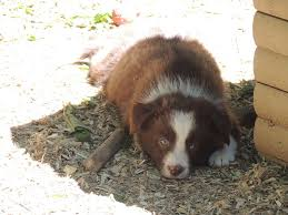 incrocio border collie x australian shepherd border collie ranch u2013 allevamento u2013 cuccioli di border collie nati
