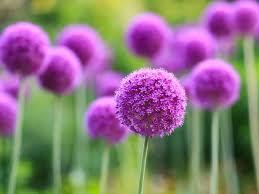 allium flowers best 25 allium flowers ideas on purple garden purple