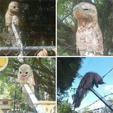 Potoo Bird Meme - put me like a very unusual bird named the potoo photographed in
