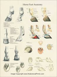 Foot Surface Anatomy Horse Equine Foot Anatomy Poster 18 X 24