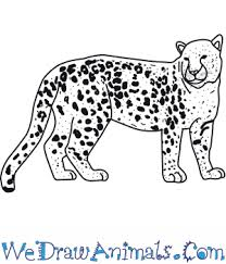 how to draw an amur leopard