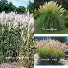 mg series ornamental grasses my 1929 charmer