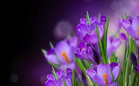 purple flowers 70 best purple flowers images and growing tips j birdny