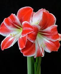 amaryllis flower amaryllis razzle dazzle christmas flowering single amaryllis