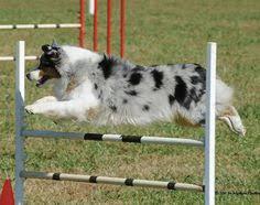 australian shepherd agility abby the aussie corgi australian shepherd welsh corgi at about