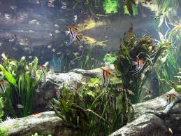 what fish can you put with angelfish in a community tank