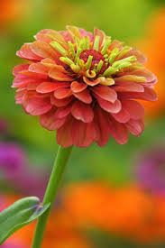 Zinnias Flowers 350 Best Zinnia Images On Pinterest Zinnias Flower Gardening
