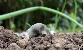 Moles Blind Moles U0026 Voles