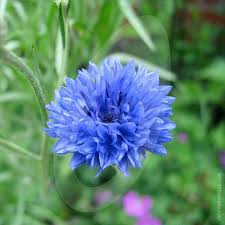 corn flower blue cornflower blue cut flower seeds quality seeds from sow