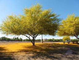 plants native to arizona parkinsonia hybrid flowering jpg