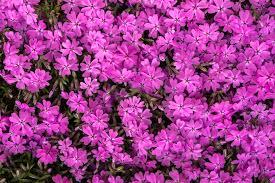 Pink Spring Flowering Shrubs - free images nature texture petal pattern botany flora