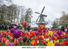windmill in the keukenhof park garden of europe the world u0027s