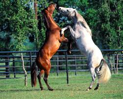 white mustang horse and white horse pictures