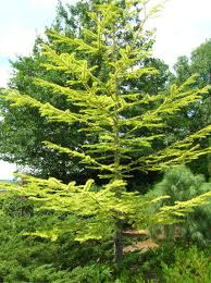 how to grow american tamarack growing american tamarack trees