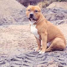 american pitbull terrier vs amstaff pit bulll diet tips