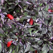 capsicum annuum calico ornamental pepper 10 seeds at