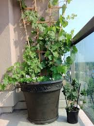 Growing Grapes Trellis Growing Grapes In Containers How To Grow Grapes In Pots U0026 Care