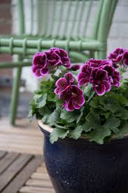 49 best pelargonium grandiflorum indoor images on pinterest