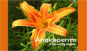 Reproduction In Flowering Plants - the seed plants angiosperms