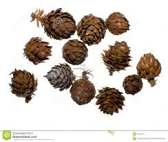 china fir tree cones royalty free stock photography image 8754517