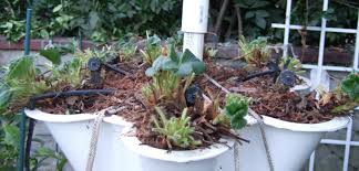 my southern california vegetable garden preparing strawberry