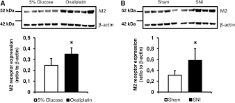 cholinergic neurotransmission in the posterior insular cortex is