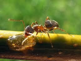 Garden Pests Identification - pest identification black garden ants freedom pest control