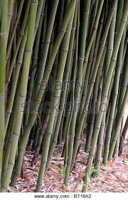 bamboo ornamental grass stock photos bamboo ornamental grass