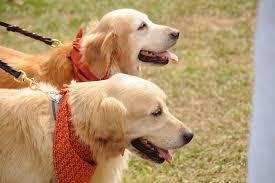 Comfort Retriever Puppies For Sale Welcome Golden Retriever Rescue Of Atlanta