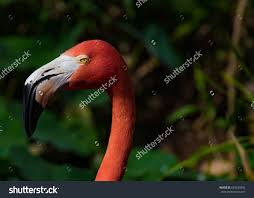 Red Colors Flamingo Impressive Pink Red Colors Stock Photo 645230392