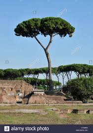 umbrella pine tree on the palatine hill rome italy stock photo