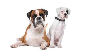 boxer dog health questions 250 boxer dog names u2013 the ultimate list my dog u0027s name