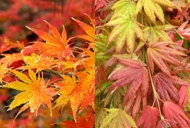 mahoney s garden center moving into fall and winter japanese maples are lovely and distinctive small trees for the home landscape the varieties are almost infinite and all produce wonderful fall color