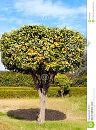 decorative citrus tree in an orange grove stock photo image