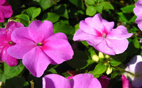 impatiens flowers impatiens flowers the best top flowers wallpaper
