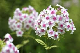 phlox flower from kinds to phlox flowers
