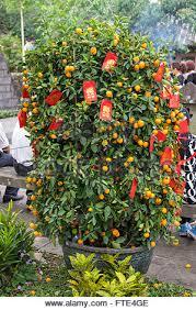New Year Fruit Decorations kumquat for chinese new year stock photo royalty free image