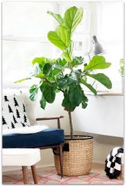 6 trending indoor plants for your home dextra in
