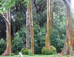 eucalyptus deglupta rainbow eucalyptus exotica tropicals