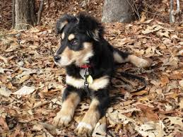 1 month old australian shepherd show us your pets page 7 woodworking talk woodworkers forum