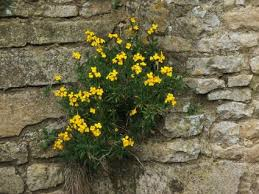 wall flowers wallflower lovetoknow
