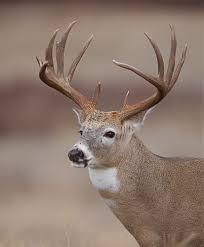 whitetail deer portrait trophy buck