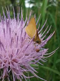 late summer in the prairie u2013 a sampling of butterflies and flowers