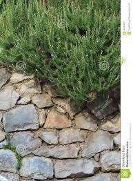 stone wall with climbing plants stock photo image 45941583