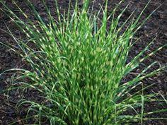 panicum virgatum shenandoah upright habit compact 2 3