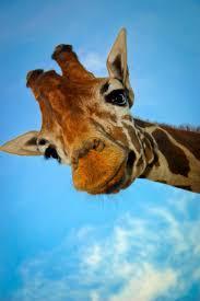the 25 best facts about giraffes ideas on pinterest giraffe