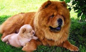 lion dogs chow chow dog information characteristics traits facts