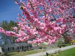 trees with pink flowers 28 pink flowering trees gallery for gt pink flowering tree