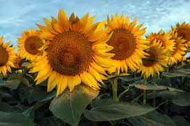 salina ks sunflower field by kansas state university most people don t know about this magical sunflower field hiding in