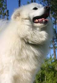 american eskimo dog growling dogs and puppies small dogs